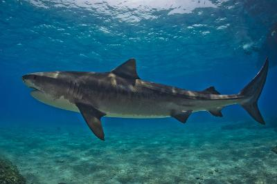 Portrait of a Tiger Shark Swimming at the Sea Floor-Jim Abernethy-Photographic Print