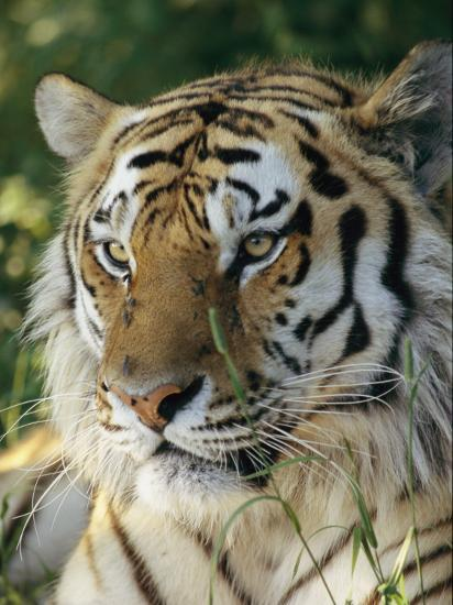 Portrait of a Tiger-Dr^ Maurice G^ Hornocker-Photographic Print