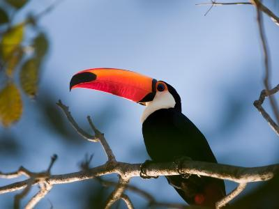 Portrait of a Toco Toucan, Ramphastos Toco-Roy Toft-Photographic Print