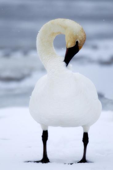 Portrait of a Trumpeter Swan, Cygnus Buccinator, Preening in the Snow-Robbie George-Photographic Print