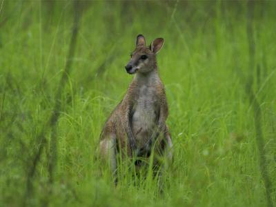 Portrait of a Wallaby-Randy Olson-Photographic Print