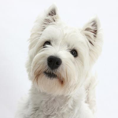 Portrait of a West Highland White Terrier-Mark Taylor-Photographic Print