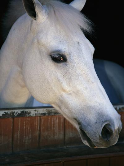 Portrait of a White Horse Looking Out the Door of its Stall-Stacy Gold-Photographic Print