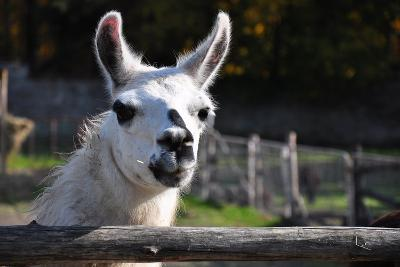 Portrait of A White Lama-cargol-Photographic Print