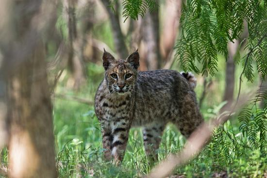 Portrait of a Wild Bobcat, Lynx Rufus-Karine Aigner-Photographic Print
