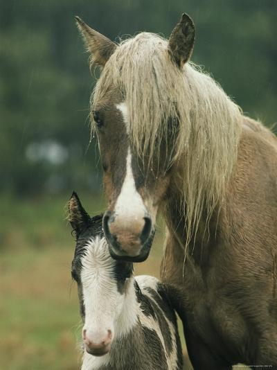 Portrait of a Wild Pony and her Foal-James L^ Stanfield-Photographic Print
