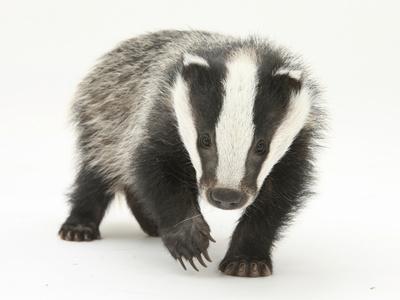 https://imgc.artprintimages.com/img/print/portrait-of-a-young-badger-meles-meles_u-l-q10oiq40.jpg?p=0