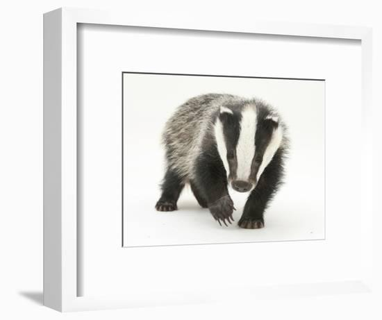 Portrait of a Young Badger (Meles Meles)-Mark Taylor-Framed Photographic Print