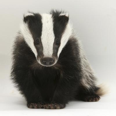 https://imgc.artprintimages.com/img/print/portrait-of-a-young-badger-meles-meles_u-l-q10oir30.jpg?artPerspective=n