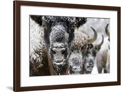 Portrait of a Young Bull European Bison or Wisent, Bison Bonasus, and Others in the Snow-Klaus Nigge-Framed Photographic Print