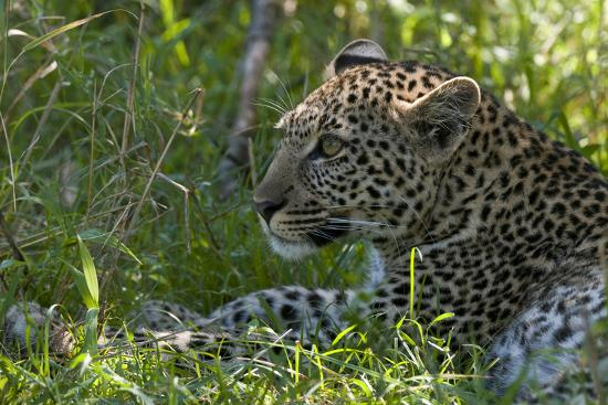 Portrait of a Young Leopard, Panthera Pardus, Resting in the Shade-Sergio Pitamitz-Photographic Print