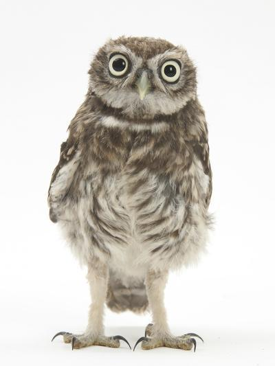 Portrait of a Young Little Owl (Athene Noctua)-Mark Taylor-Photographic Print