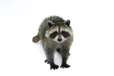 Portrait of a Young Orphaned Raccoon, Procyon Lotor.-Joel Sartore-Photographic Print
