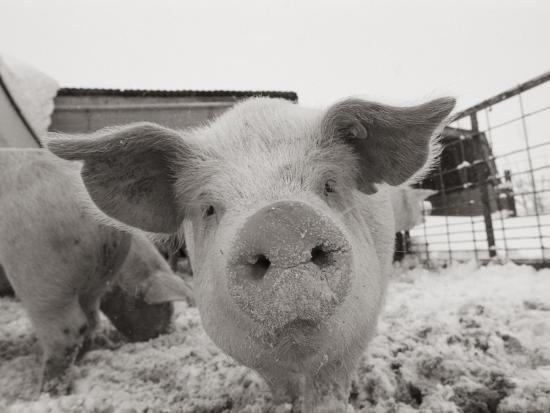 Portrait of a Young Pig-Joel Sartore-Photographic Print