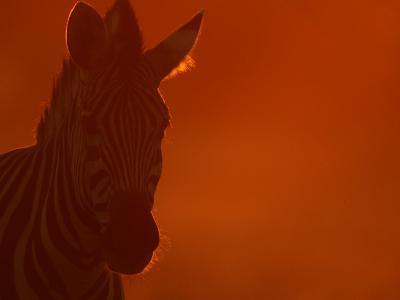 Portrait of a Zebra (Equus Burchelli)-Beverly Joubert-Photographic Print