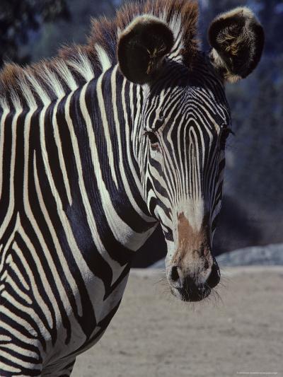 Portrait of a Zebra in the San Diego Zoo, California-Kenneth Garrett-Photographic Print