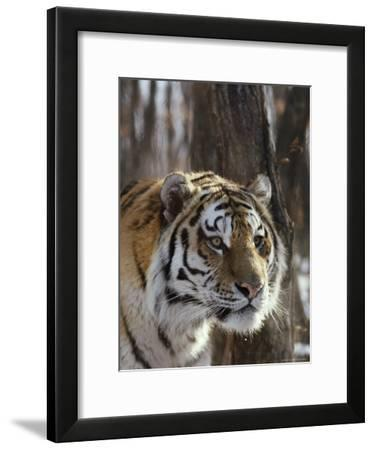 Portrait of an Adult Male Siberian Tiger-Dr. Maurice G. Hornocker-Framed Photographic Print