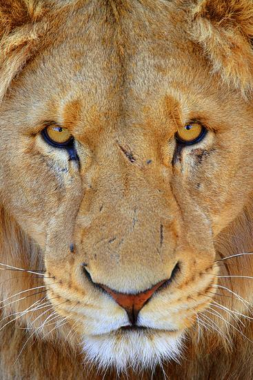 Portrait of an African Male Lion with Scars, in South Africa-Keith Ladzinski-Photographic Print