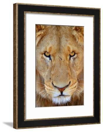 Portrait of an African Male Lion with Scars, in South Africa-Keith Ladzinski-Framed Photographic Print