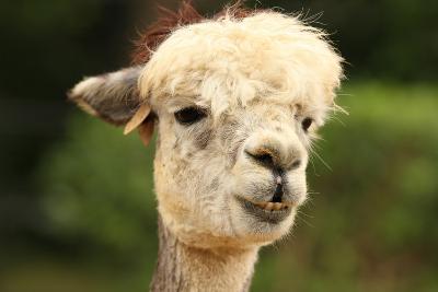 Portrait of an Alpaca-SCOOPERDIGITAL-Photographic Print