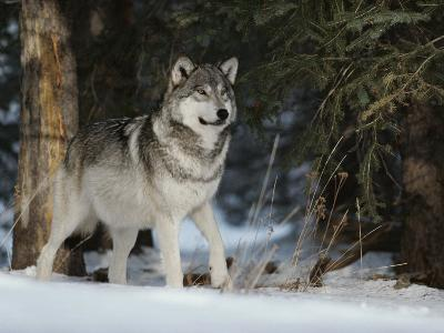 Portrait of an Alpha Male Gray Wolf, Canis Lupus, at Forest's Edge-Jim And Jamie Dutcher-Photographic Print