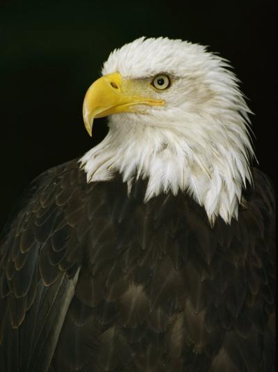 Portrait of an American Bald Eagle-Anne Keiser-Photographic Print