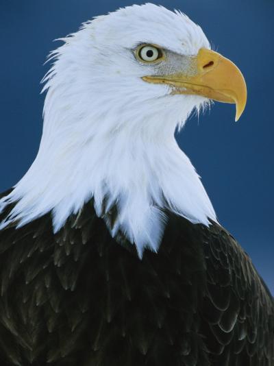 Portrait of an American Bald Eagle-Klaus Nigge-Photographic Print