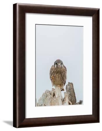 Portrait of an American Kestrel Fledgling-Tom Murphy-Framed Photographic Print