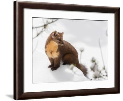 Portrait of an American Marten on a Snow Bank-Tom Murphy-Framed Photographic Print