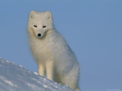 Portrait of an Arctic Fox Near Hudson Bay, Canada-Norbert Rosing-Photographic Print