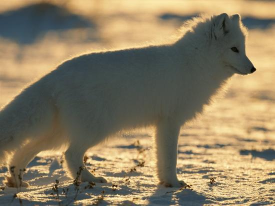 Portrait of an Arctic Fox Near Hudson Bay, Canada-Norbert Rosing-Photographic Print