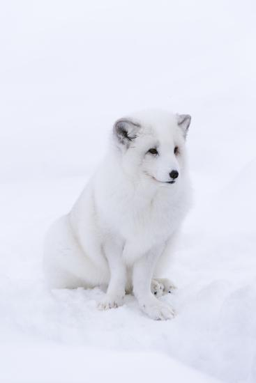 Portrait of an Arctic Fox, Vulpes Lagopus, Sitting in the Snow-Sergio Pitamitz-Photographic Print