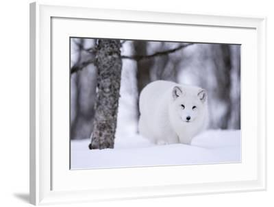 Portrait of an Arctic Fox, Vulpes Lagopus, Walking in the Snow-Sergio Pitamitz-Framed Photographic Print