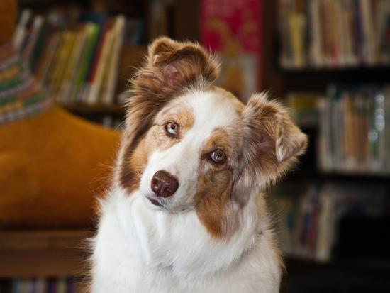 Portrait of an Australian Shepherd in the Library-Zandria Muench Beraldo-Photographic Print