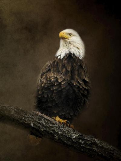 Portrait of an Eagle-Jai Johnson-Giclee Print