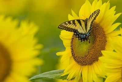 Portrait of an Eastern Tiger Swallowtail, Papilio Glaucus, on a Sunflower-Paul Sutherland-Photographic Print