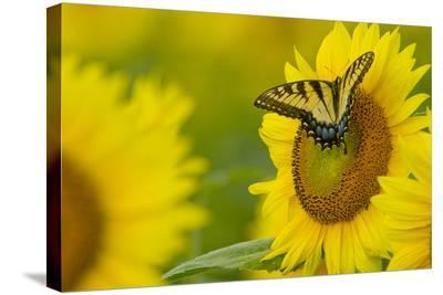 Portrait of an Eastern Tiger Swallowtail, Papilio Glaucus, on a Sunflower-Paul Sutherland-Stretched Canvas Print