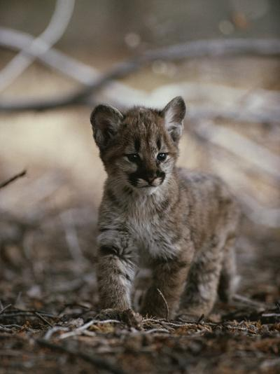Portrait of an Eight-Week-Old Mountain Lion Kitten-Jim And Jamie Dutcher-Photographic Print
