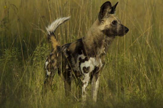 Portrait of an Endangered African Wild or Cape Hunting Dog, Lycaon Pictus, in Tall Grass-Beverly Joubert-Photographic Print
