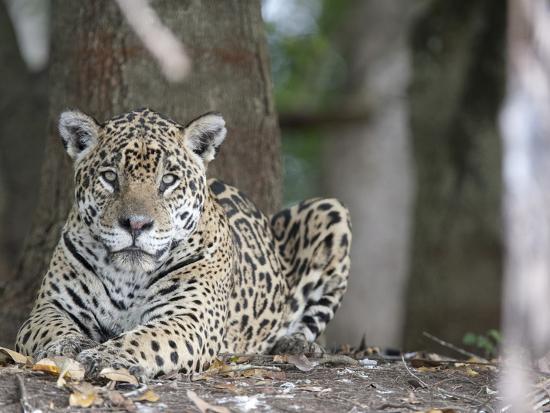 Portrait of an Endangered Jaguar, Panthera Onca, at Rest-Roy Toft-Photographic Print