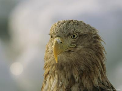 Portrait of an Endangered White-Tailed Sea Eagle-Tim Laman-Photographic Print