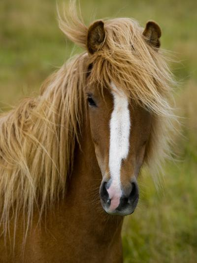 Portrait of an Icelandic Horse with it's Mane Blowing in the Wind-Mattias Klum-Photographic Print