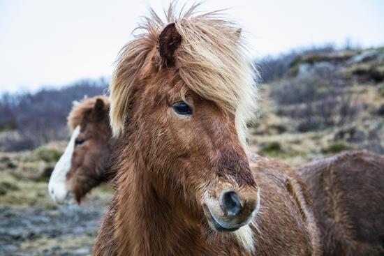 Portrait of an Icelandic pony, Equus caballus.-Robbie George-Photographic Print