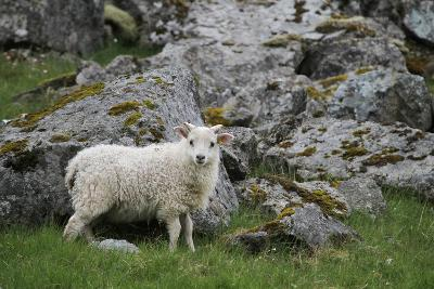 Portrait of an Icelandic Sheep-Erika Skogg-Photographic Print