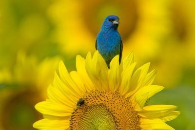 https://imgc.artprintimages.com/img/print/portrait-of-an-indigo-bunting-passerina-cyanea-on-a-sunflower_u-l-pol9wf0.jpg?p=0