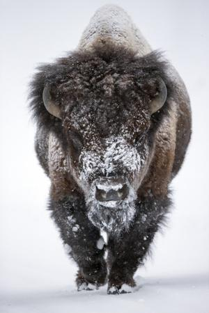 https://imgc.artprintimages.com/img/print/portrait-of-an-snow-dusted-american-bison-bison-bison_u-l-pwdbhg0.jpg?p=0