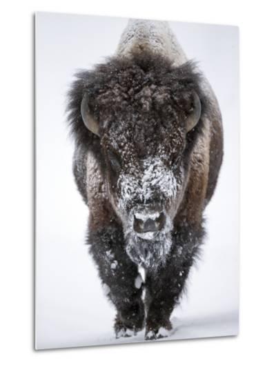 Portrait of an Snow-Dusted American Bison, Bison Bison-Robbie George-Metal Print