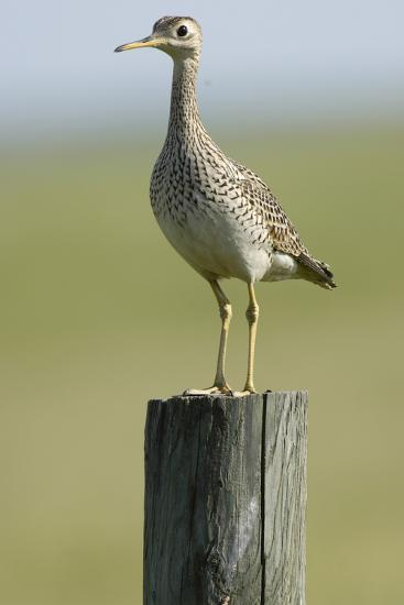 Portrait of an Upland Sandpiper, Bartramia Longicauda, Standing on a Wooden Post-Michael Forsberg-Photographic Print