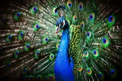 Portrait of Beautiful Peacock with Feathers Out-Drop of Light-Photographic Print