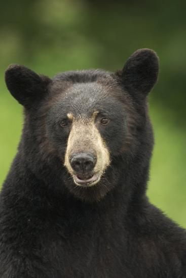 Portrait of Black Bear Minnesota Summer Digitalnot Captive-Design Pics Inc-Photographic Print